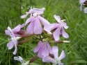 saponaria_officinalis_2