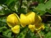 colutea-arborescens
