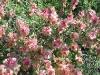 salsola_vermiculata